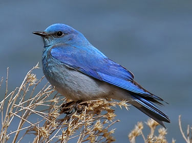 Male mountain bluebird photo by Phil Swanson