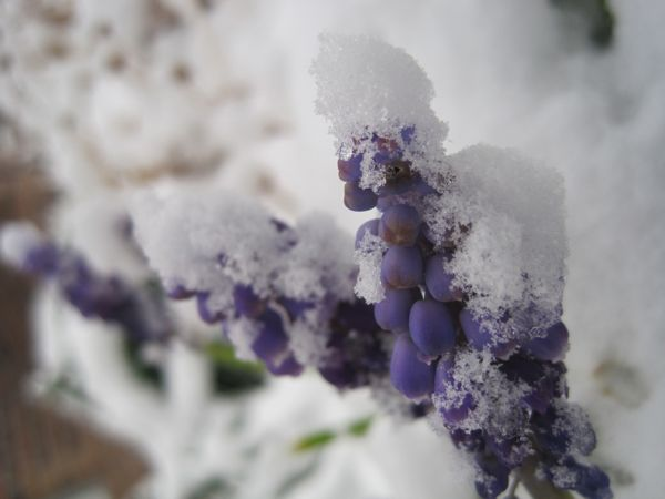 Grape hyacynth in the snow