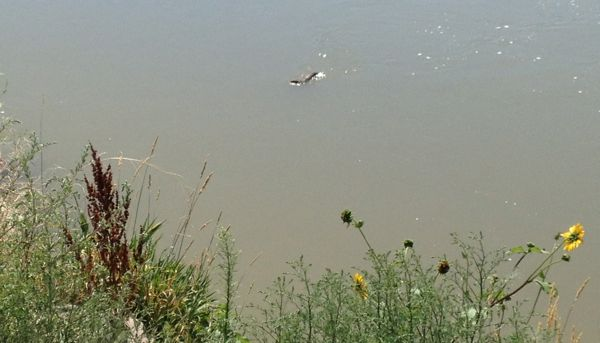 A mink swimming across the North Platte River.