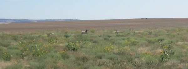 A pronghorn antelope with a tractor in the distance