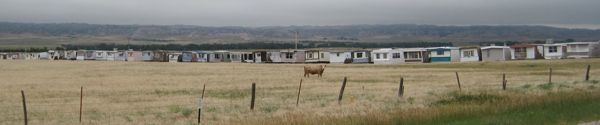 A mobile home graveyard, with cattle