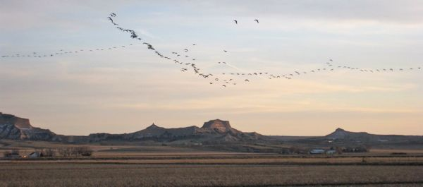 The Canada goose numbers in the North Platte flyway aren't what they were a few weeks ago, but there were still a substantial number settling down into the stubbly fields.