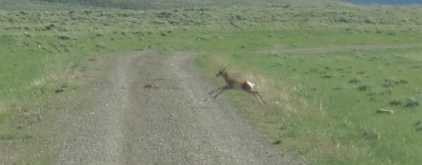 For lack of a better photo for this post, here is a gratuitously cute photo of a baby pronghorn antelope running. (Photo taken July 2010.)
