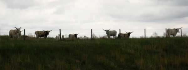 The longhorns from the museum where I work are on holiday on their summer pasture in Banner County. Hellooo, ladies!