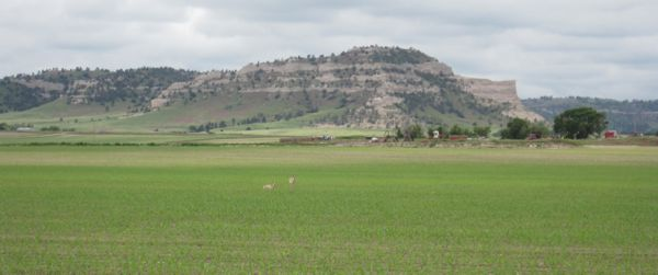 pronghorn in cornfield