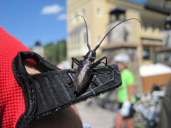Awww . . . Bugman made a friend. After he caught it, this longhorn beetle perched on his glove strap.