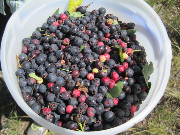 "We got a taste of some serviceberries from a couple of folks out gathering them at the side of the road. ""Bear like them,"" they said. ""So do famished bikers,"" I would add."