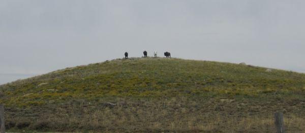 Another ersatz wildlife sighting: bison on a hilltop.