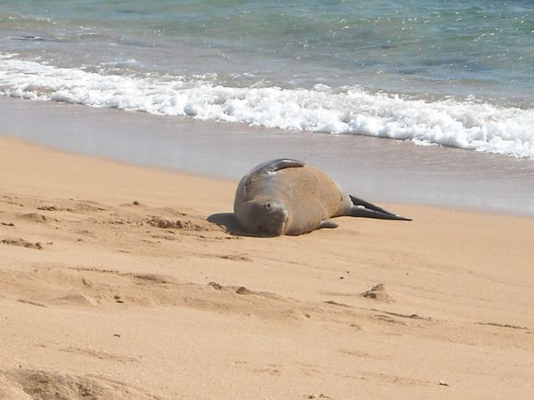 Ma and Pa Bug's shot of a Hawaiian monk seal. What a cute face!