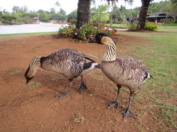 We had plenty of interesting sightings of nene (Hawaiian goose) around the islands, too. This picture was taken at Smith's Tropical Paradise.