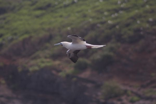 Bugman got some decent shots of 'a (red-footed boobies), which were nesting at the time of our visit. My favorite bird was the koa'e 'ula (red-tailed tropicbird).