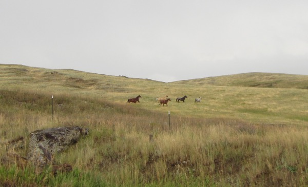 The rain did finally let up, thank goodness. This herd of horses ran out towards the road, stared at the cyclists for a little while, then ran away again.