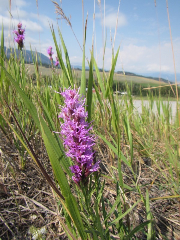 Had to grab a wildflower shot when we stopped for a breather. This is liatris, AKA blazing star or gayfeather.
