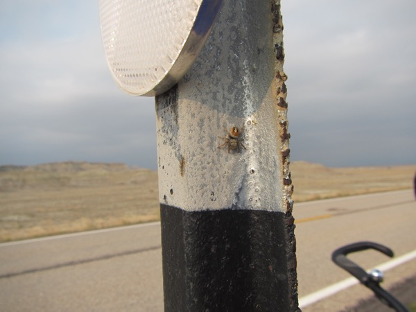 Bugman and I had to keep stopping to eat and drink. (It's too hard for him to do that on the run while piloting the tandem, even on a calm day.) At this stop, I spotted a salticid (jumping spider) on the signpost. I get a kick out of salticids. They have personality.