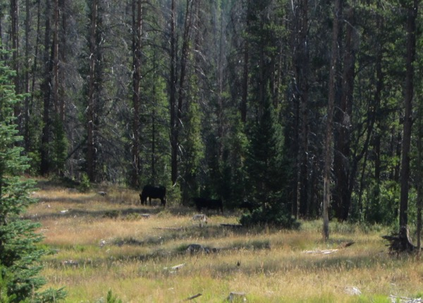 18 forest cattle
