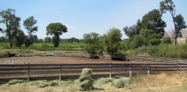 26 cattle in shade