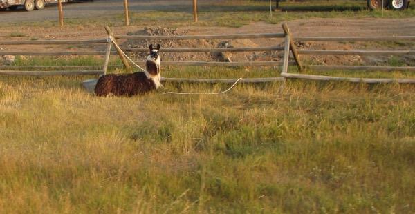 6 tethered llama