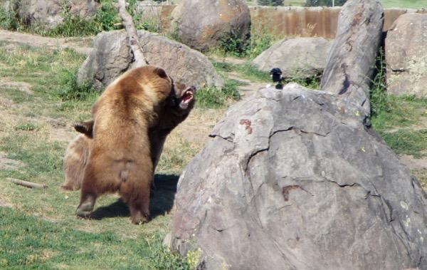 7 bear fight